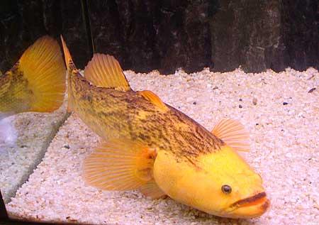 เรื่องปลาบู่ทองเริ่มขึ้นโดยเศรษฐีทารก (อ่านว่า ทา-ระ-กะ) ผู้มีอาชีพจับปลามีภรรยา  2 คน คนแรกชื่อขนิษฐา มีลูกสาวชื่อ เอื้อย ส่วนคนที่สองชื่อ ...